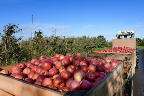 Bis in den November hinein erfreuen die frischen Äpfel Auge und Gaumen im Alten Land am Elbstrom. Foto: djd/Tourismusverband Landkreis Stade