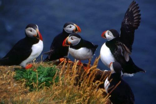 Faszination Vogelwelt: Die Papageitaucher zählen zu den beliebtesten Fotomotiven an Islands Küsten. Foto: djd/contrastravel.com