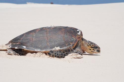 Zwischen Oktober und Dezember legen die Meeresschildkröten ihre Eier an den einsamen Stränden Mosambiks und der Seychellen ab. Foto: djd/Abendsonne Afrika