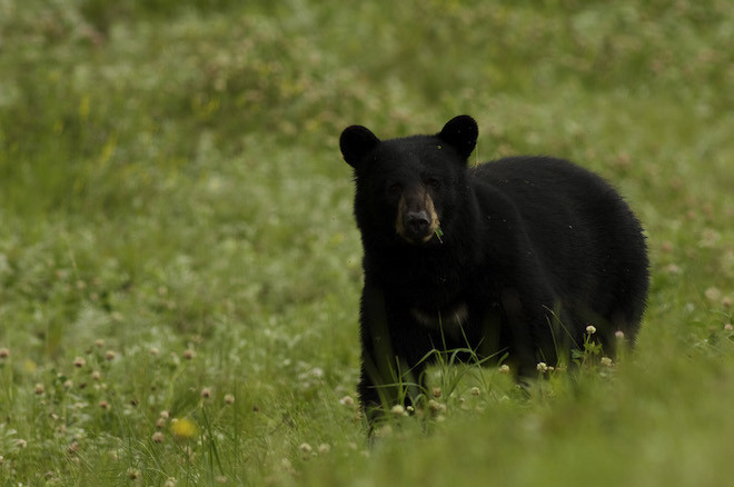 Sogar frei lebende Grizzlybären sind in ihrer natürlichen Umgebung zu bestaunen. (Bild: NWTT: Terry Parker)