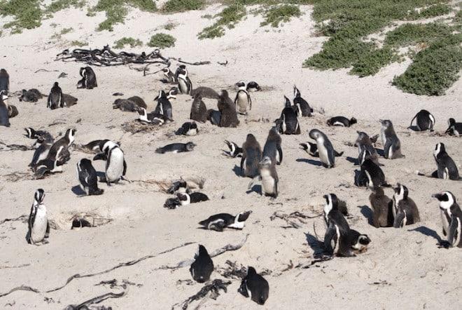 Am Boulder Strand von Simon's Town leben Tausende von Pinguinen. Foto: djd/Abendsonne Afrika