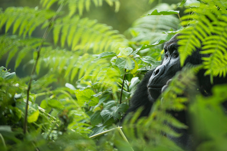 Berggorillas zum Jahresbeginn:  9-tägige Aktivreise über Silvester nach Ruanda  Foto: Wikinger Reisen