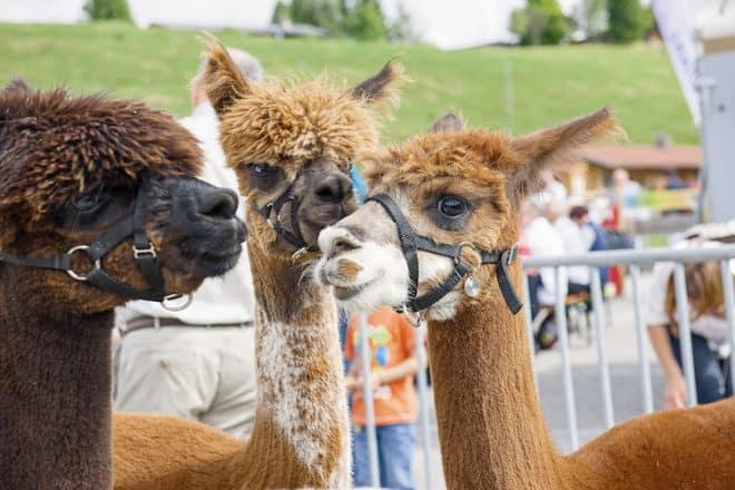 Vor allem für die kleinen Besucher spannend: Auf der Alm gibt es flauschige Zeitgenossen zu entdecken. (Foto: epr/Chiemgau Tourismus)