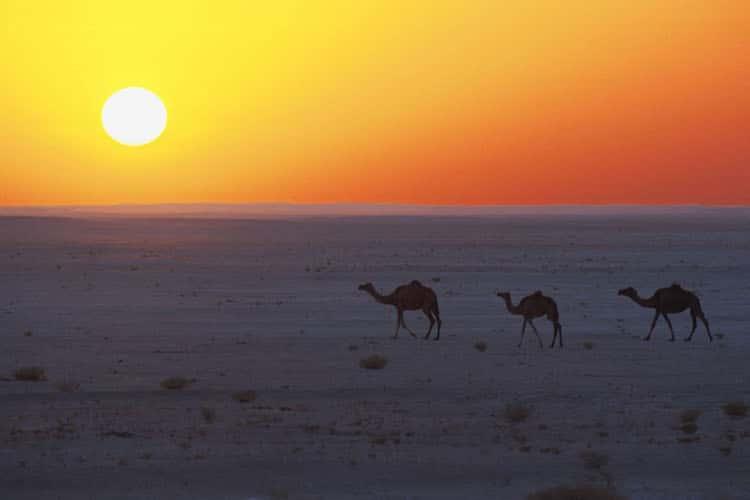 Dromedare in der wüstenähnlichen Landschaft von Oman: Traditionelles Flair wie aus 1001 Nacht prägt das Land am Arabischen Golf. Foto: djd/Sultanate of Oman