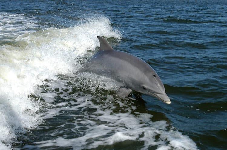 Delfinde im Reserva Natural do Estuário do Sado Foto: © Turismo de Lisboa