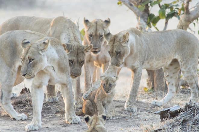 Löwenrudel im South Luangwa Nationalpark Sambia Bild: Wikinger Reisen