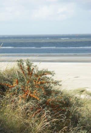 """Sanddorn wird auch als """"Zitrone des Nordens"""" bezeichnet. Foto: © Dirk Topel/Die Nordsee GmbH"""