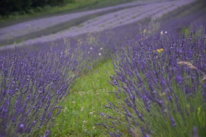 Auch in der Südsteiermark gibt es Lavendelfelder so weit das Auge reicht.