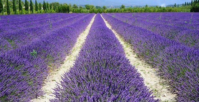Lavendelfelder in Südfrankreich gehören ebenso dazu wie der Wein.