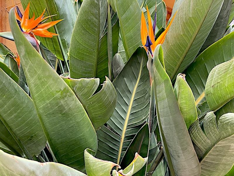 Tropische Pflanzen gedeihen auf La Gomera sehr gut.