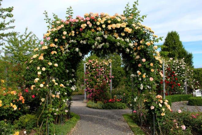 Rosen über Rosen im Europa Rosarium Sangerhausen in Sachsen-Anhalt.
