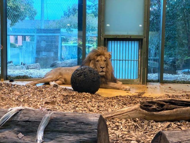 Neben seltenen Tierarten beherbergt der Bergzoo Halle in Sachsen-Anhalt auch Löwen und Tiger.