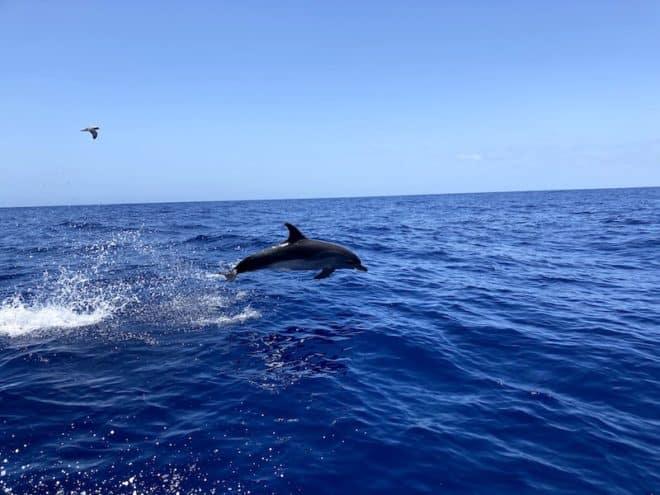 Teneriffa und die Kanarischen Inseln allgemein bieten ideale Bedingungen für Walbeobachtungen.