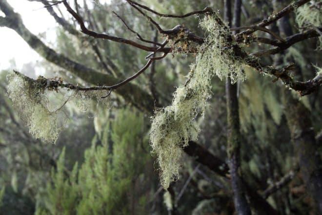 UNESCO-Weltnaturerbe - Viele Bäume auf Madeira sind mit Moosen und Flechten bewachsen.